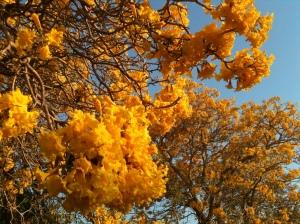 Kapok trees in bloom