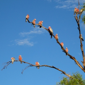 Galahs in pre-clown mode!