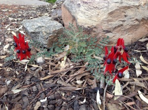 The little Desert Pea that 'could'