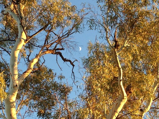 Morning light with fading moon amongst the gums