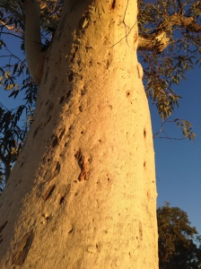 Morning light on gum trunk