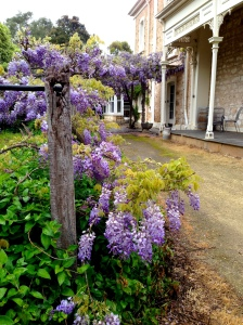 Wysteria at Padthaway Estate
