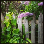 Lilacs (my favourite)