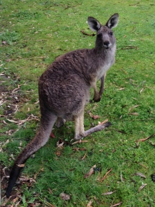 Kangaroo in the Grampians (wild)