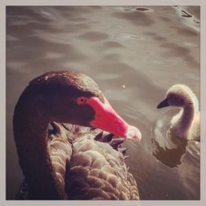 Black Swan and cygnet, Botanic Grdns, Melb