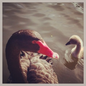 Black Swan and cygnet, Botanic Grdns, Melb