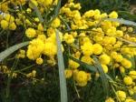 Wattle (Australia's flower emblem)