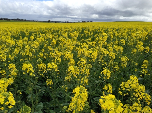 Field of Rape (canola oil is made from Rapeseed)