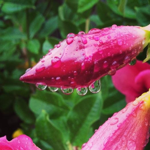 Cherry Alamanda after rain