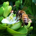 Honey bee in Murraya