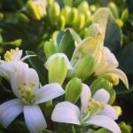Murraya Paniculata in blossom