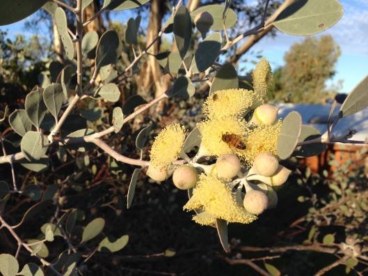 Honeybee and Native bee on same flower cluster