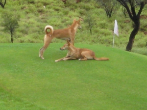 Wild Dingoes on the fairway in front of our house