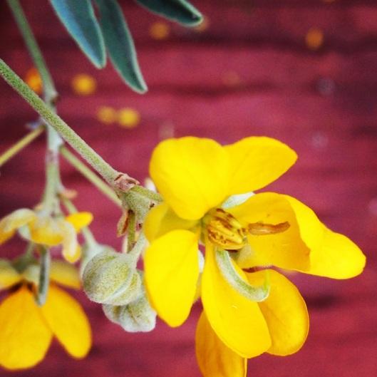 Native Cassia flower