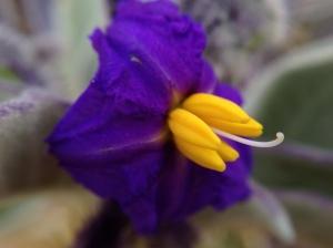 Bush Tomato flower