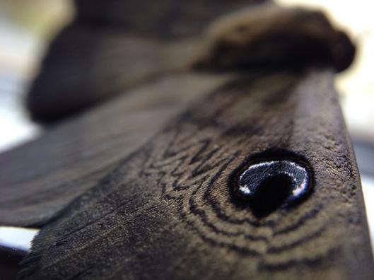 australian-moth-wing