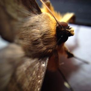 australian-moth-face