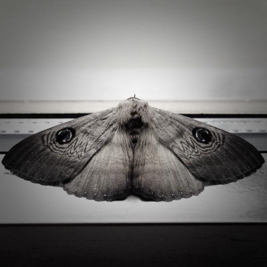 australian-moth