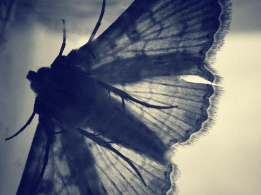 moth-wings