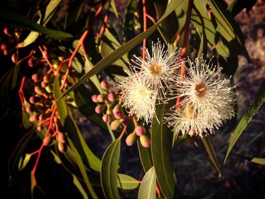 eucalyptus-blossom-australia