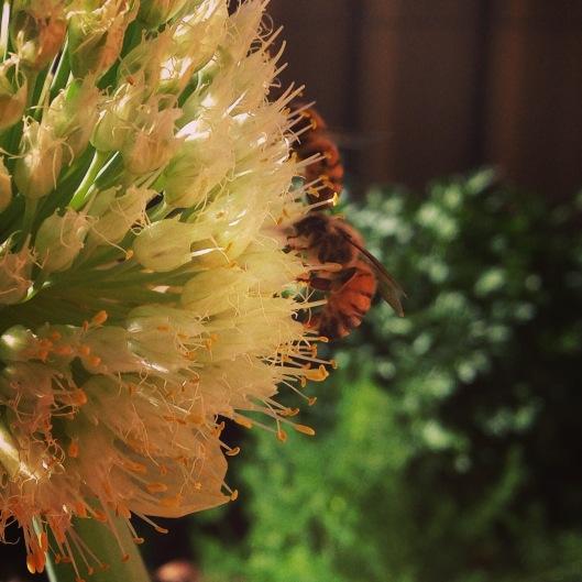 honey-bees-onions