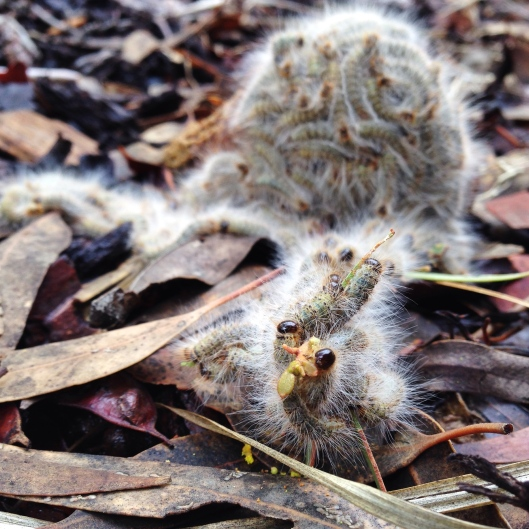 nest-processionary-caterpillars