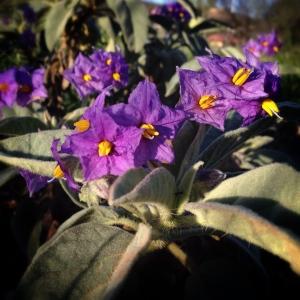 bush-tomato-flowers