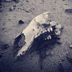 wallaby-skull-desert