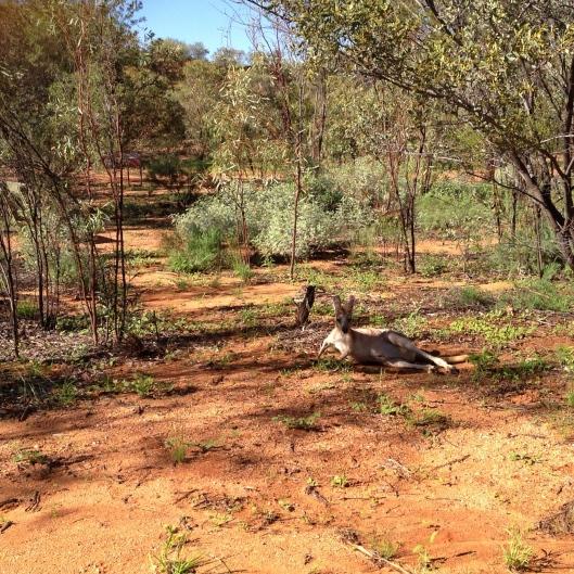 kangaroo-wild-resting