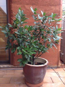 Bay Tree - BEFORE