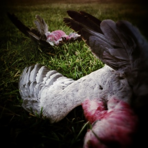(32) deceased galahs as found