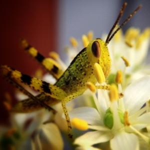 grasshopper-alice-springs