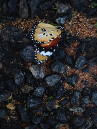 dead butterfly on road--before editing