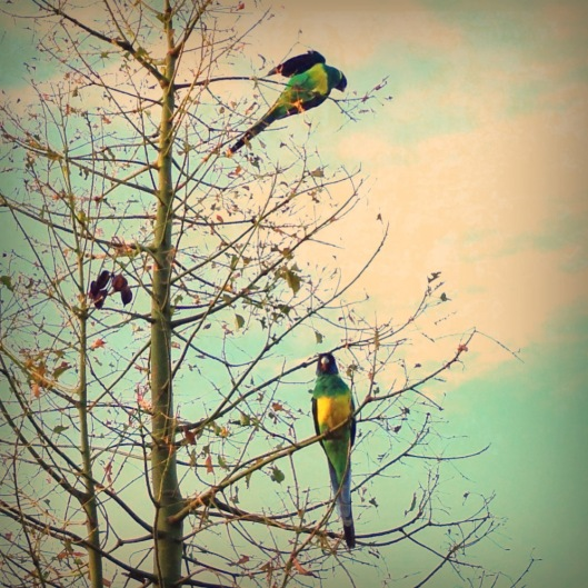 parrots-alice-springs