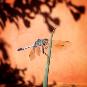 dragonfly-alice-springs