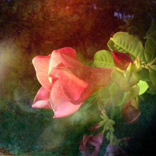 Cherry Allamande in morning light, edited using Distressed FX app