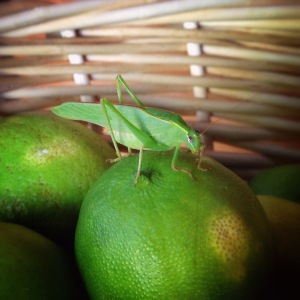 lime-green-grasshopper
