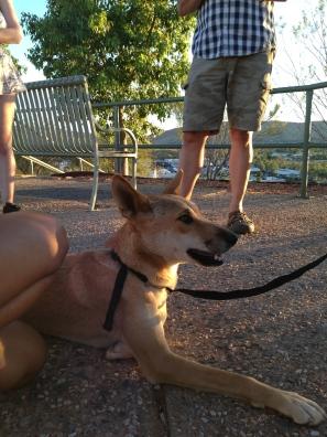 dingo-desert-wildlife-alice-springs