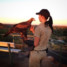 wedge-tail-eagle
