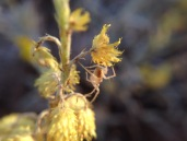 wildflowers-central-australia