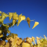native vine against cerulean sky