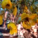 australia-cassia-blossom