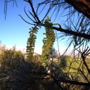 australia-corkwood-blossom