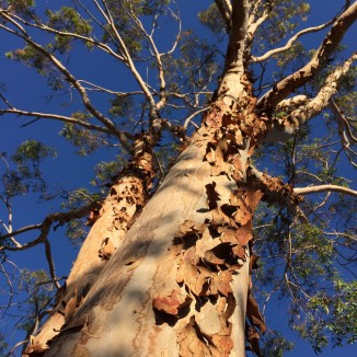 eucalyptus-shedding-winter
