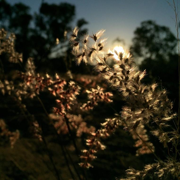 grasses-evening-light