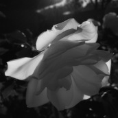 rose-light-monochrome