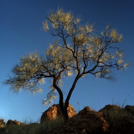 corkwood-tree
