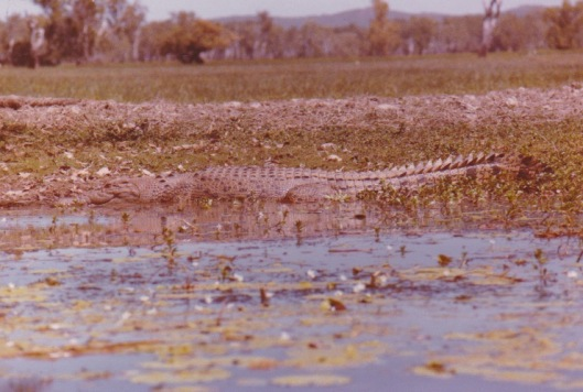 Yellow Waters Croc