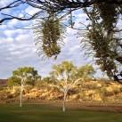 eucalyptus-corkwood-alice-springs