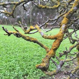 Lichen on tree in South Australia